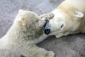 polar_bears_moscow_zoo